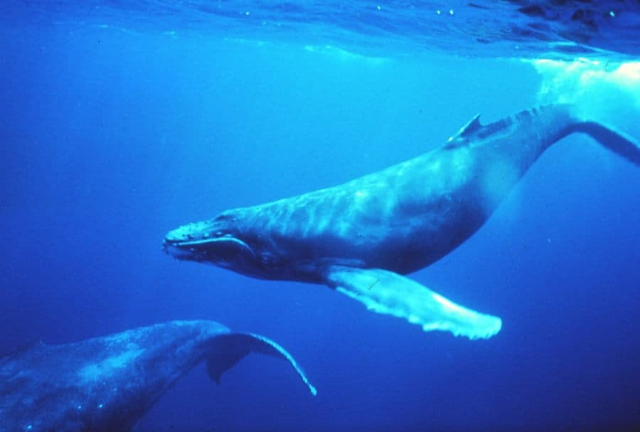 Humpback_whales_in_singing_position