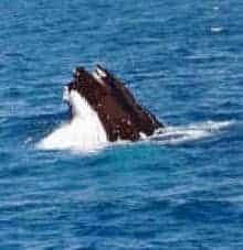 humpback feeding in hervey bay