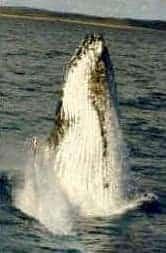 Humpback Whale breaching showing throat pleats