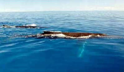 Humpback Whale Breeding