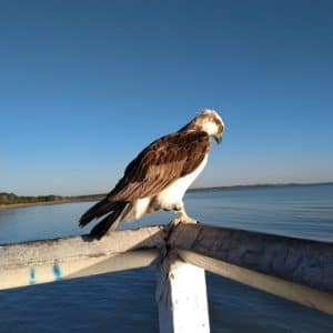 Fraser Coast Tourism and Information Sea Osprey