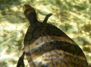 Spotted Carapace Turtle