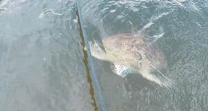 Sea Turtle Fraser
