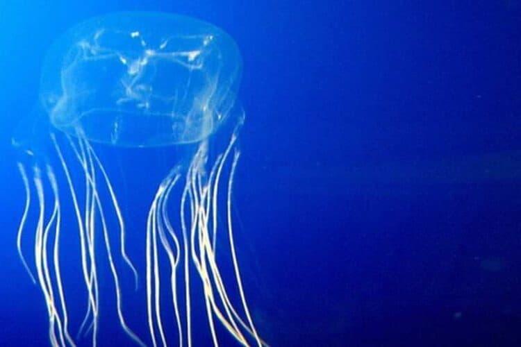Irukandji jellyfish