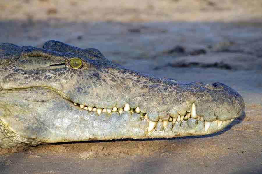 Crocodile signs